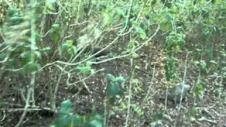 Komodo dragon fleeing