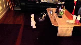 Umbrella Cockatoo Plays Tug-of-war With Dachshund