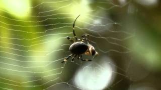 Spider vs wasp in Bario