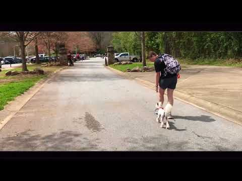 7 Yr Old Chinese Crested, Dollie | Greenville Dog Trainers | Best Dog Trainers