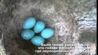 Что за птица несет голубые яйца?