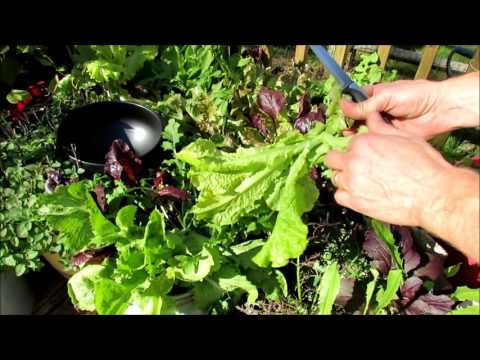 Organic Lettuces and Greens: Bolting and The Cut & Come Again Technique for a Double Harvest!
