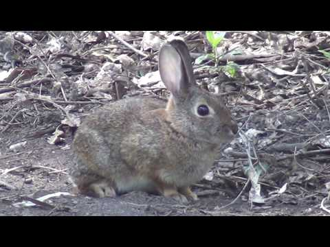 North American Wildlife --- Desert Cottontail Rabbit (bunny)