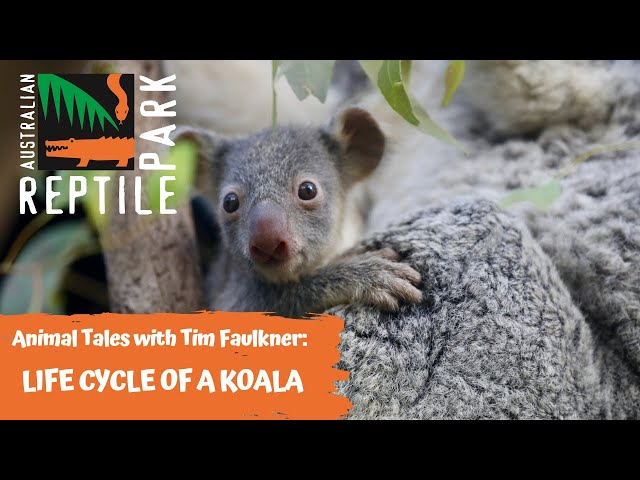 ANIMAL TALES WITH TIM FAULKNER | EPISODE 40 | LIFE CYCLE OF A KOALA!