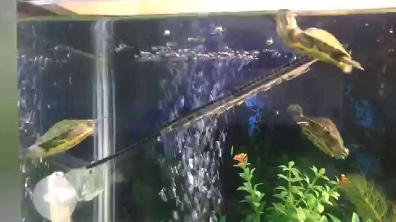 Tortugas y peces viviendo youtube for Como construir estanques para peces