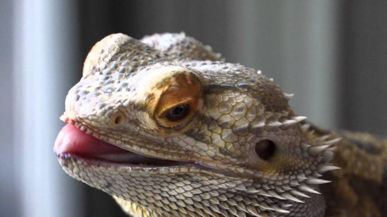 Bearded Dragon named Elvis loves Black Berries - YouTube