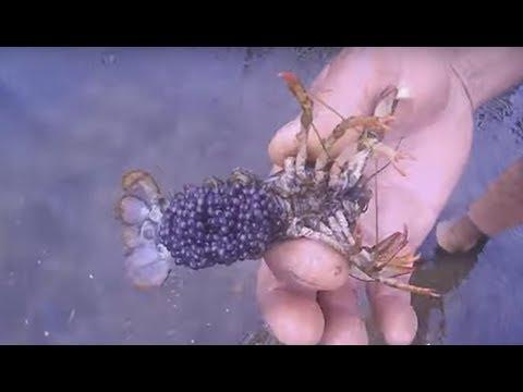 Вопрос: Как размножить раков в озере?