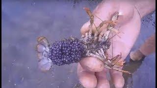 ловим раков в реке для разведения.Икра рака.  We catch crayfish  in the river