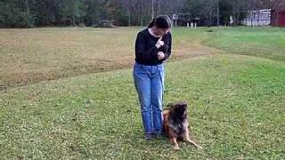 Belgian Tervuren Puppy Play Training