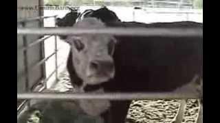 Retrouvailles d'une vache avec son veau, sauvés de l'abattoir