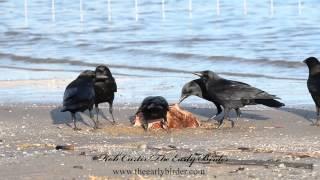 Corvus brachyrhynchos = AMERICAN CROW feeding, calling.