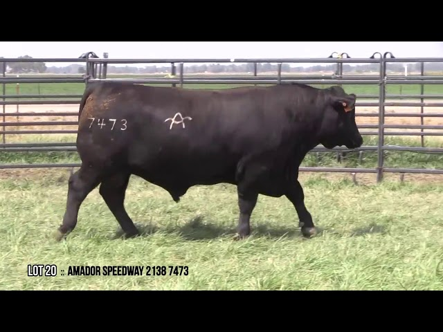 Mid Valley Bull Sale Lot 20