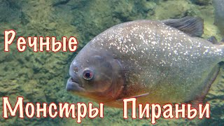 Самые опасные хищные рыбы. ПИРАНЬИ. РЕЧНЫЕ МОНСТРЫ.
