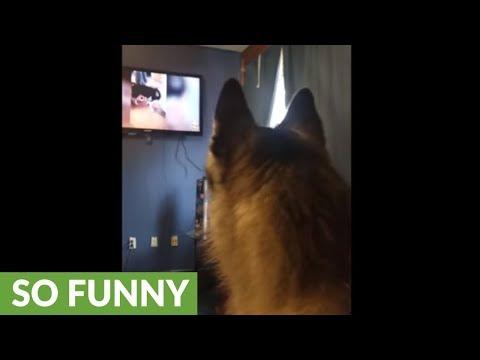 Husky barks at husky compilation video on TV