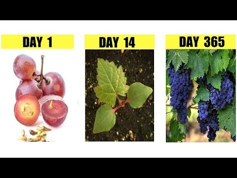 How To Grow GRAPE VINES from Seeds STEP By STEP