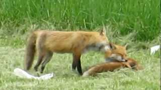 Cute Foxes nuzzling