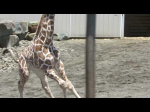 Download Youtube: April the Giraffe & Baby Tajiri