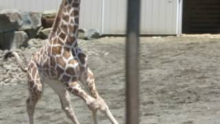 April the Giraffe & Baby Tajiri