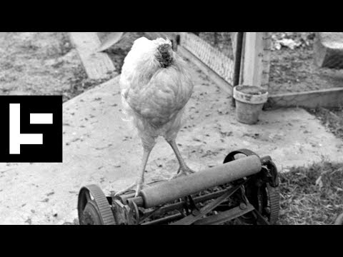 Miracle Mike: the Headless Chicken Who Wouldn't Die