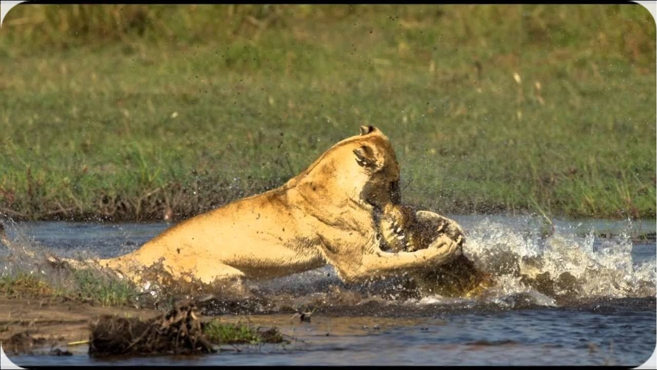 african lion vs nile crocodile fight comparison