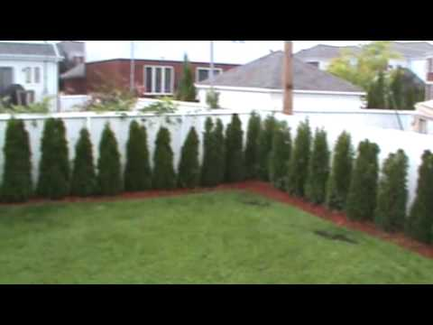 Thuja Occidentalis Smaragd Cedar Hedge 1 Year Old