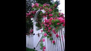 Hướng dẫn dâm cành hoa hồng leo Tường Vi đạt hiệu quả tốt nhất cho anh em đam mê trồng hoa hồng