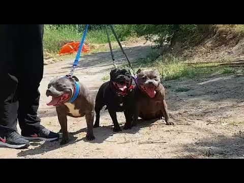 Staffordshire Bull Terrier Turkey