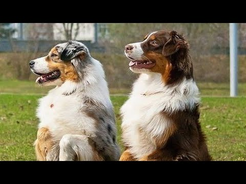 Australian Shepherds Playing Walking & Having Fun