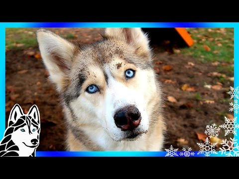 DIRTY HUSKY DIGS IN THE SANDBOX | #AskGTTSD 277
