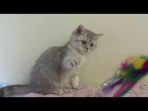 Blue tabby British Shorthair female kitten