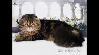 Порода кошек  Хайленд фолд.