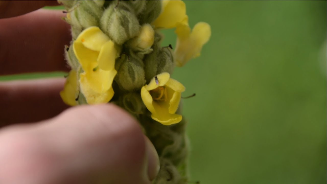 How To Identify Common Mullein Medicinal Plants Youtube
