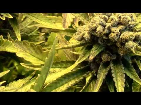 & 1000 Watt Royal Purple Kush @ Harvest - YouTube