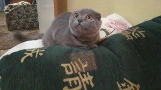 Как рос шотландский вислоухий котенок Джон/How did Scottish Fold kitten John