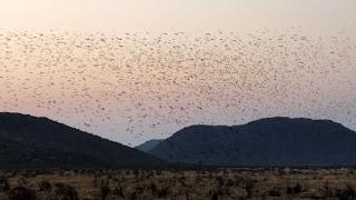 Epic Swarm of 100,000+ Birds Dance in the Sky