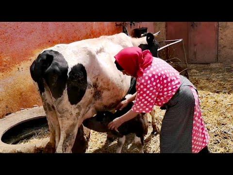 ڤلوك مع لالة حادة تحلب الأبقار بالطريقة التقليدية