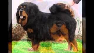 Тибетский мастиф|Самая большая собака