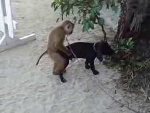Un singe baise une fille