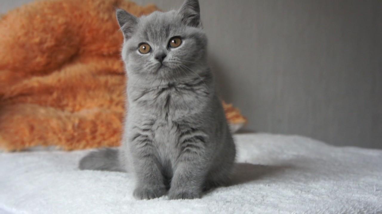 Elegance Efie dziewczynka po Hi fi British Shorthair Cattery