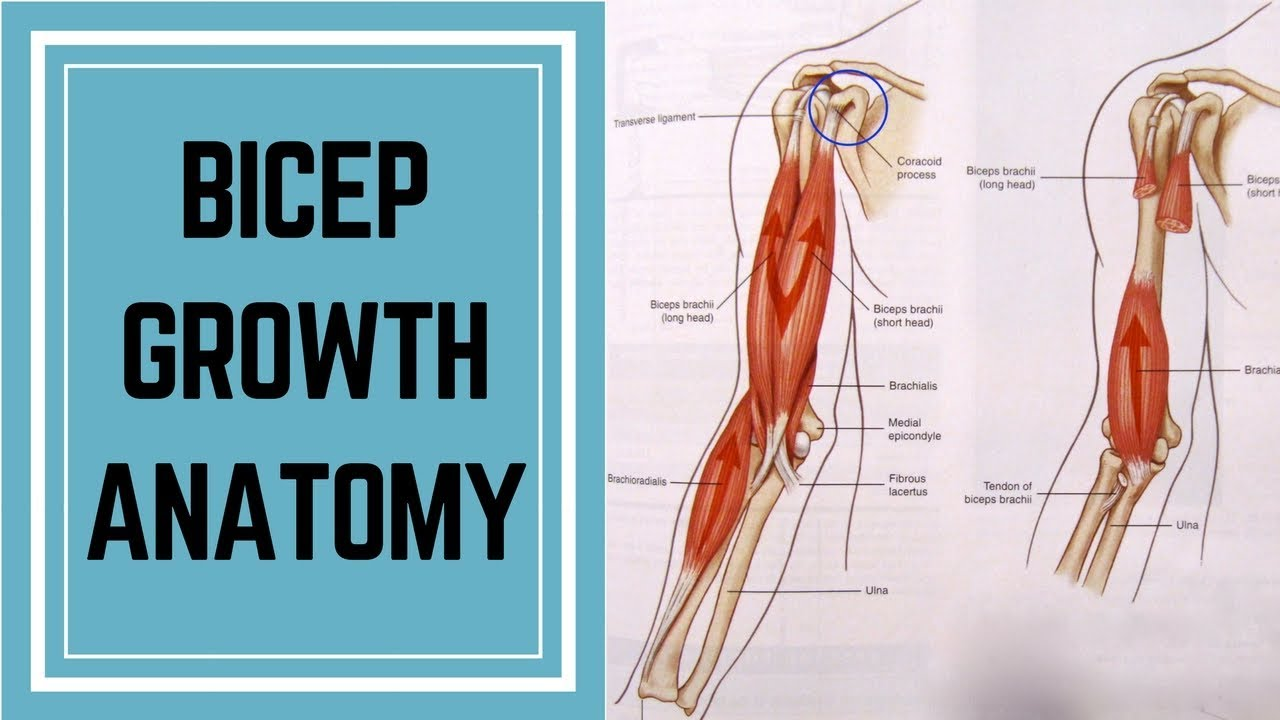 How to Get Big Biceps: Bicep Anatomy (Short Head) - YouTube