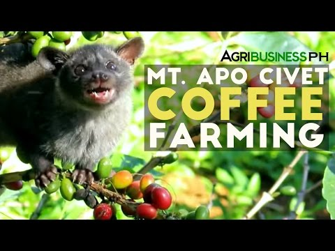 Mt. Apo Civet Coffee Farming : Civet Coffee Farming in the Philippines | Agribusiness Philippines