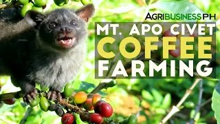 Mt. Apo Civet Coffee Farming : Civet Coffee Farming in the Philippines   Agribusiness Philippines