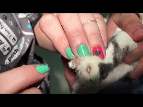 How to apply nail caps on to the claws of a cat