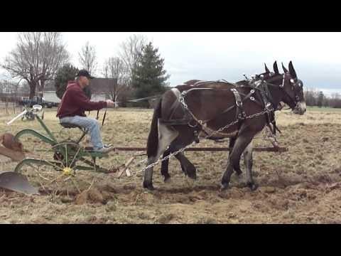 Mules Plowing Woodbury Tenn.