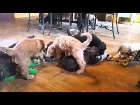 Labradoodle Puppies - Jubilee Labradoodles