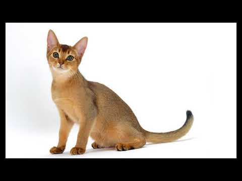 how long does an abyssinian cat live