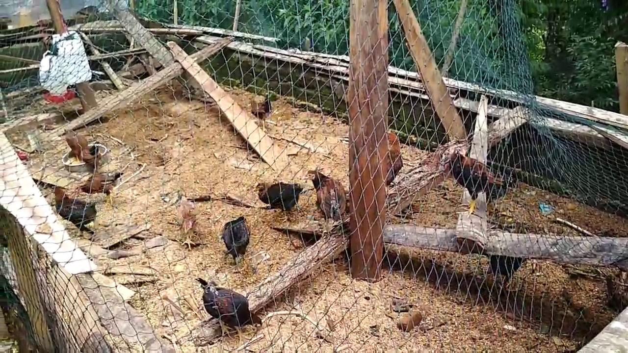 92+ Gambar Ayam Yang Sederhana Terlihat Keren