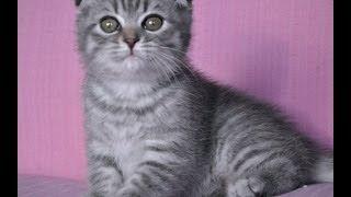 Шотландский вислоухий котик голубой табби