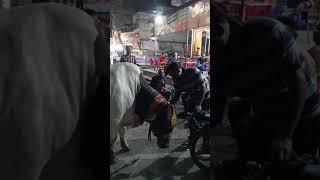 Ghar Ka Pala Hova Bull In Orangi Town