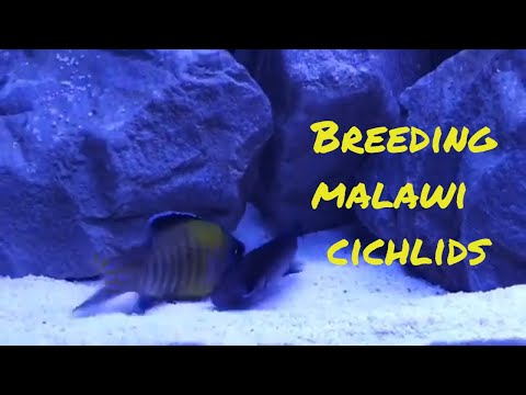 Aquarium fish breeding | Breeding malawi cichlids | Cichlids breeding | KNOW YOUR FISHY